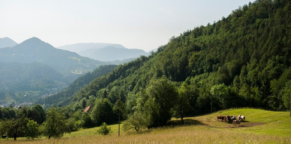 green hills and pasture with cows